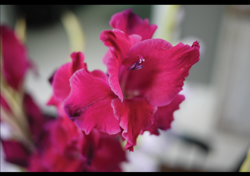 deep-purple-gladiolus